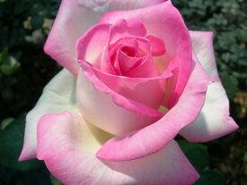 【予約大苗】バラ苗 プリンセスドゥモナコ (HT覆桃) 国産苗 6号鉢植え品《J-MB》 ※2月末までにお届け