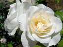 アイスバーグ 四季咲き フロリバンダ