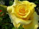 【直送品】 スタンダードローズ 100cm ヘルムートシュミット (HT黄色) 国産苗 8号鉢植え品★代引き決済不可★ 【バラ…