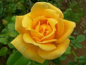 バラ苗【6号新苗】つるミセスPSデュポン (Cl黄) 国産苗 6号鉢植え品【即納】《J-CL15》