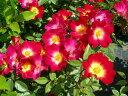 ●予約新苗● カクテル 【コクテール】 (Cl複) 国産苗 新苗 ● 【つるバラ.ツルバラ.つるばら】 【バラ苗】※5月末ま…
