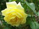 ●予約新苗● カジノ (Cl黄色) 国産苗 新苗 ● 【つるバラ.ツルバラ.つるばら】 【バラ苗】※5月末までにお届けの予約…