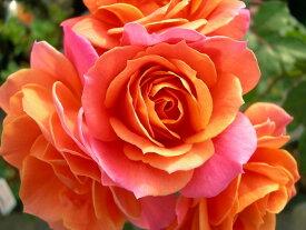バラ苗【中苗】ディズニーランドローズ (FL複橙) 国産苗 6号鉢植え品 即納《J-IRM2》