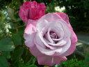 ●予約新苗● つるパラダイス (Cl紫色) 国産苗 新苗 ● 【つるバラ.ツルバラ.つるばら】 【バラ苗】※6月中旬頃までに…