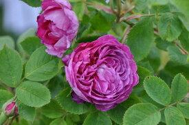 バラ苗【中苗】レーヌデヴァイオレット (HP赤紫) 国産苗 6号鉢植え品《J-OC20》