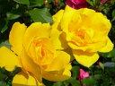 ●予約新苗● ヘンリーフォンダ (HT黄色) 国産苗 新苗 ● 【四季咲き.木立.大輪.ハイブリッド・ティー】 【バラ苗】※…