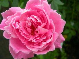 バラ苗【中苗】ミセスRGシャーマンクロフォード (HP桃) 国産苗 6号鉢植え品《J-OB15》