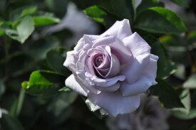 【大苗】バラ苗 すみれの丘 (CL青紫) 国産苗 6号鉢植え品【即納】《J-KAI》