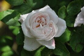 バラ苗【中苗】メルヴェーユドゥリヨン (HP淡桃) 国産苗 6号鉢植え品《J-OC15》