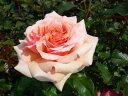 フレグラントアプリコット 四季咲き フロリバンダ