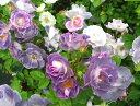 バラ苗【新苗】ブルーフォーユー (Fl紫) 国産苗《J-ZEK》