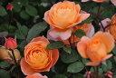 【予約大苗】バラ苗 レディエマハミルトン (ER橙) 輸入苗 6号鉢植え品《ER-Y》※2月末までにお届け