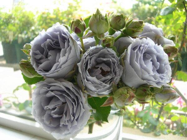 予約大苗【バラ苗】ターンブルー (FL青紫) 国産苗 大苗 6号鉢植え品 ☆《J-KAI》※2月末までにお届け