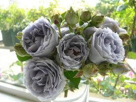 【予約大苗】バラ苗 ターンブルー (FL青紫) 国産苗 6号鉢植え品《J-KAI》 ※2月末までにお届け