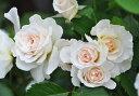 マーガレットメリル 四季咲き フロリバンダ