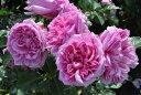【大苗】バラ苗 ローズポンパドゥール (Del桃) 国産苗 6号鉢植え品《Han-DEL》