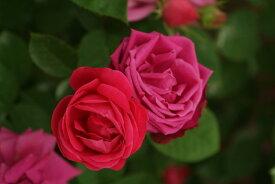 【大苗】バラ苗 チャールズゲーター (HP赤) 国産苗 6号鉢植え品《N-OC》