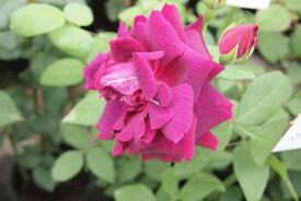【大苗】バラ苗 プリンスカミードローアン (HP赤) 国産苗 6号鉢植え品