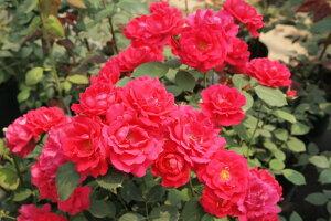 【大苗】バラ苗 ポールズスカーレットクライマー (Cl赤) 国産苗 6号鉢植え品【即納】《J-CL20》 0321追加