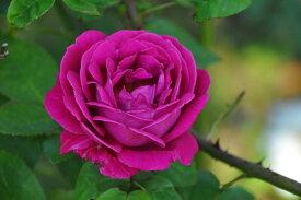 バラ苗【中苗】トムウッド (HP赤) 国産苗 6号鉢植え品《J-OC15》