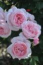 【予約大苗】バラ苗 ナエマ (Del桃) 国産苗 6号鉢植え品《Han-DEL》 ※2月末までにお届け