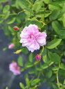 ◆即納 【バラ苗】 ウネムディシャ 【Unermudliche】 (Ch桃) 国産苗 中苗 6号鉢植え品 ● 【オールドローズ.チャイナ…