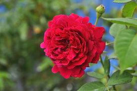 バラ苗【中苗】ブラックプリンス (HP黒赤) 国産苗 6号鉢植え品《J-OC20》