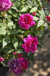 【大苗】バラ苗 パープルエルフ (Min紫) 国産苗 6号鉢植え品【即納】《J-MIN20》 0321追加