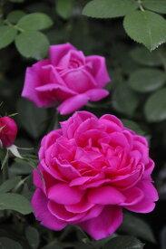 【大苗】バラ苗 マグナカルタ (HP桃) 国産苗 6号鉢植え品《N-OB》