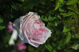 【大苗】バラ苗 ハインリッヒミュンヒ (HP桃) 国産苗 6号鉢植え品