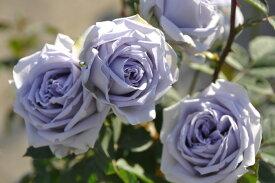 【予約大苗】バラ苗 ブルードレス (HT青紫) 国産苗 6号鉢植え品《J-KAI》 ※2月末までにお届け