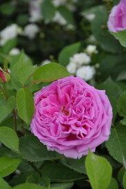 【大苗】バラ苗 ハインリッヒシュールタイス (HP桃) 国産苗 6号鉢植え品