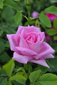 【大苗】バラ苗 ゲオルクアレンズ (HP桃) 国産苗 6号鉢植え品