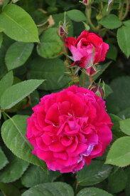 バラ苗【中苗】シャルルルフェーブル (HP赤紫) 国産苗 6号鉢植え品《J-OC15》