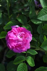 【大苗】バラ苗 アールドワゼドゥリヨン (HP紫) 国産苗 6号鉢植え品