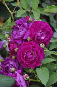 【大苗】バラ苗 アイヴァンホー (CL赤紫) 国産苗 6号鉢植え品【即納】[契約品種]《OM-ZEK》