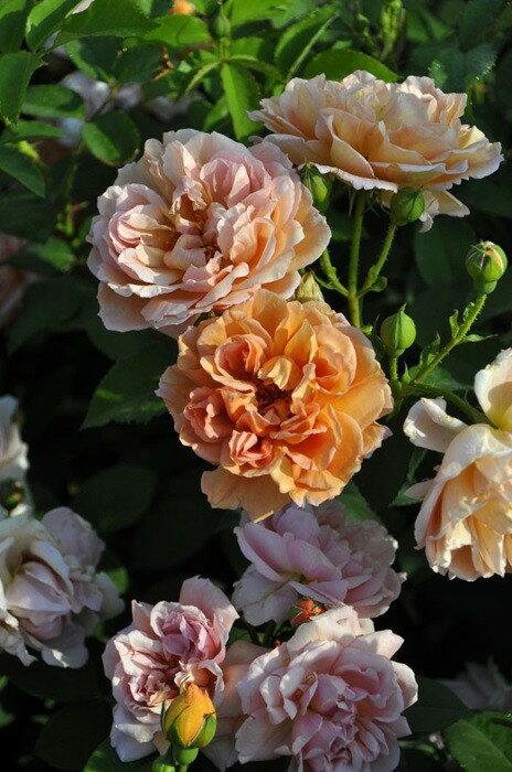 【大苗】バラ苗 カフェ (FL茶) 国産苗 6号鉢植え品《J-MB》