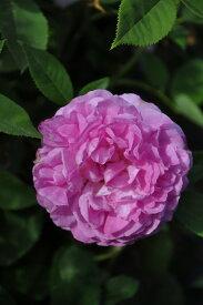 【大苗】バラ苗 マダムエリザドゥビルモラン (HP桃) 国産苗 6号鉢植え品