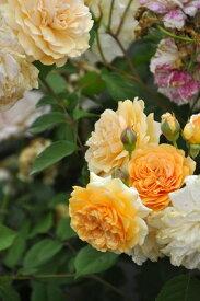 バラ苗【6号新苗】バフビューティ (HMsk橙) 国産苗 6号鉢植え品【即納】《J-OC10》