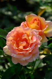【予約大苗】バラ苗 ラパリジェンヌ (Del複橙) 国産苗 6号鉢植え品《Han-DEL》 ※2月末までにお届け