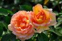 ◆即納 【バラ苗】 ラパリジェンヌ (Del複) 国産苗 中苗 6号鉢植え品 ● 【デルバール】《Han-DEL》
