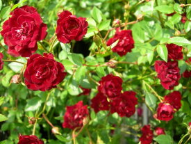 バラ苗【6号新苗】レッドカスケード【レッドキャスケード】(Cl赤) 国産苗 6号鉢植え品【即納】《J-CL10》