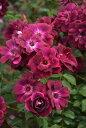 【予約大苗】バラ苗 バーガンディーアイスバーグ (Fl赤紫) 国産苗 6号鉢植え品《YM-B_J-MB》※2月末までにお届け