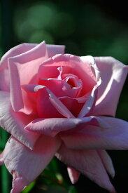 バラ苗【6号新苗】はごろも【羽衣】ハゴロモ (Cl桃) 国産苗 6号鉢植え品【即納】《J-CL10》