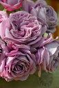 ◆即納 【バラ苗】 カインダブルー (HT紫) 国産苗 中苗 6号鉢植え品 ● 【四季咲き.木立.大輪.ハイブリッド・ティー】…