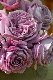 【予約大苗】バラ苗 カインダブルー (HT紫) 国産苗 6号鉢植え品《J-IR2R》 ※2月末までにお届け
