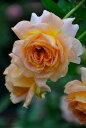 キャラメル アンティーク 四季咲き ハイブリッド