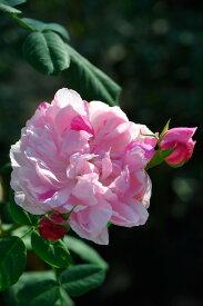 バラ苗【中苗】パナシェドルレアン (HP桃) 国産苗 6号鉢植え品《J-OC20》
