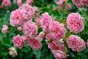 ガーデン アンティーク 四季咲き シュラブ