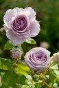 【予約大苗】バラ苗 アンティークウォッチ (Sh紫) 国産苗 6号鉢植え品《J-YJR》※2月末までにお届け